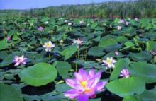Jetzt pflanzen Blaue Seerose Samen für Gartenteiche Naturteiche Schwimmpflanzen