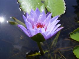 seerosen lotusblumen wasserpflanzen lotus nelumbo. Black Bedroom Furniture Sets. Home Design Ideas